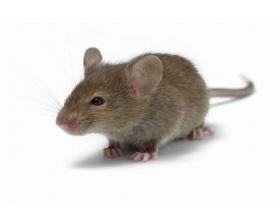Mortal Βιταφαρμ Ε.Π.Ε. Παγίδες κόλλας για ποντικούς, κατσαρίδες και μυρμήγκια 2 τεμάχια